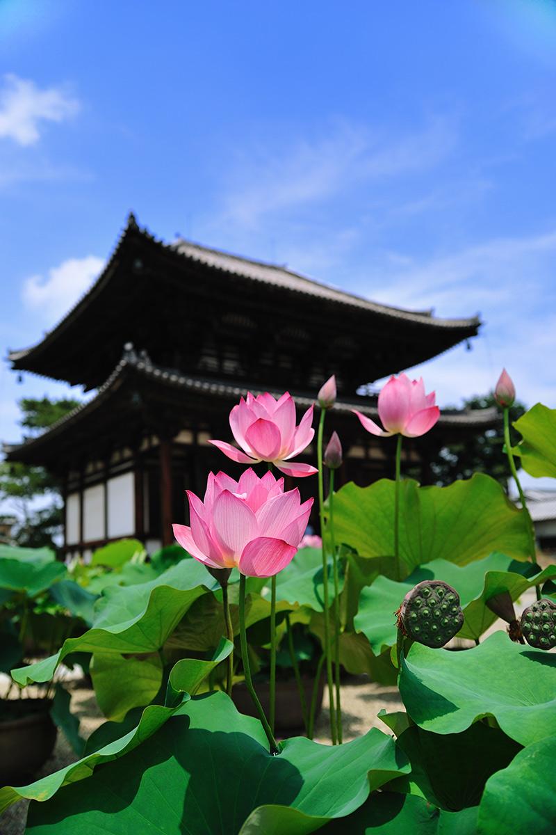 喜光寺の蓮の花ピンク