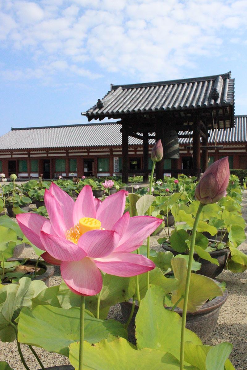 薬師寺の蓮の花