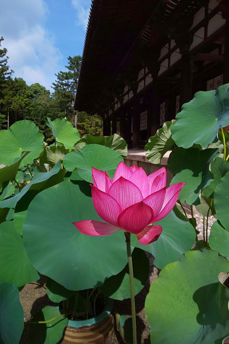 唐招提寺の蓮の花