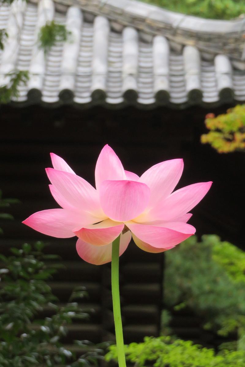 唐招提寺の蓮の花薄ピンク