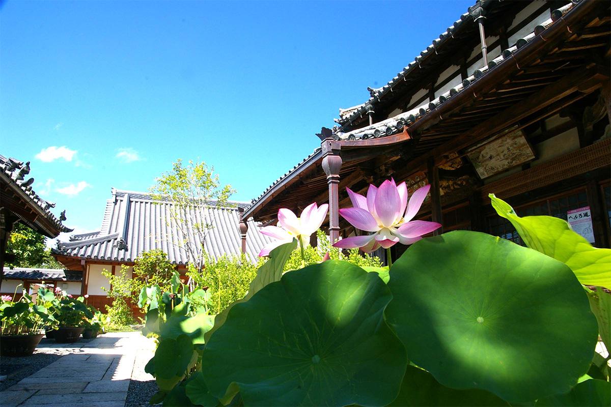 正蓮寺の蓮の花