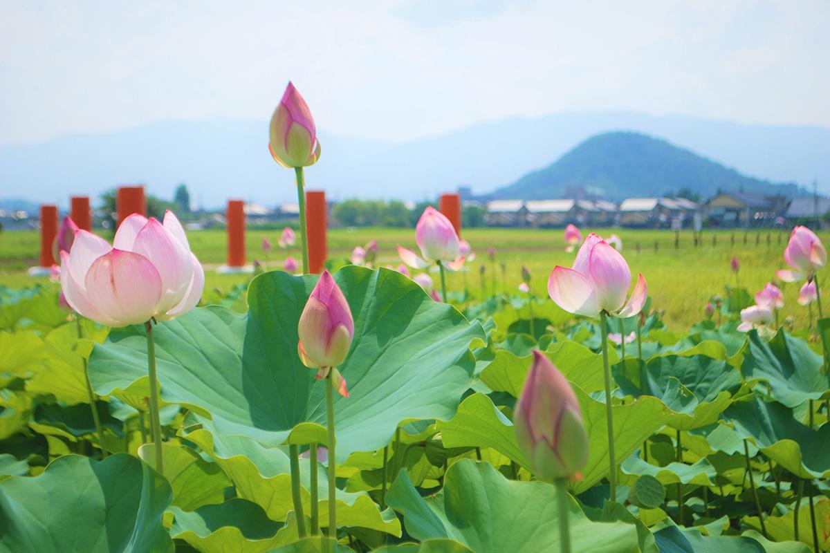 藤原宮跡の蓮の花と風景