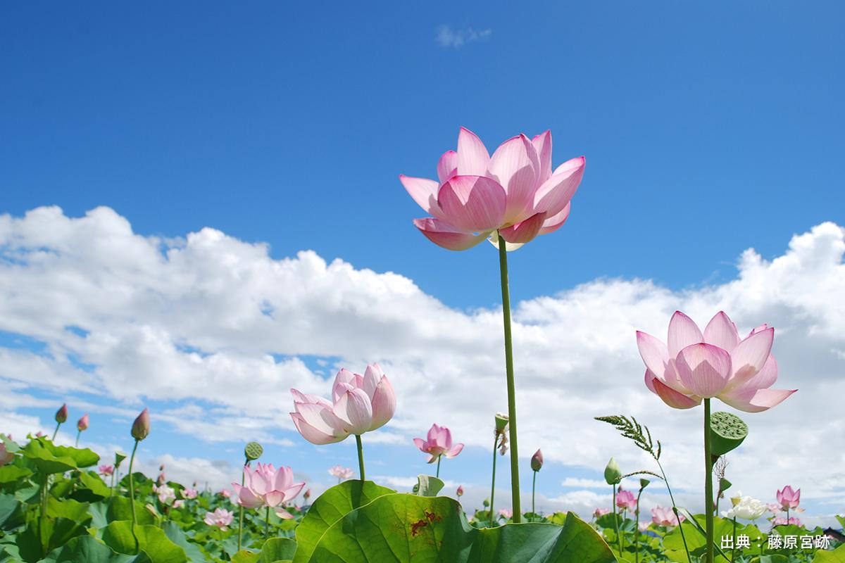 【奈良】SNS映え!写真を撮るのが楽しくなる「蓮の花」名所5選