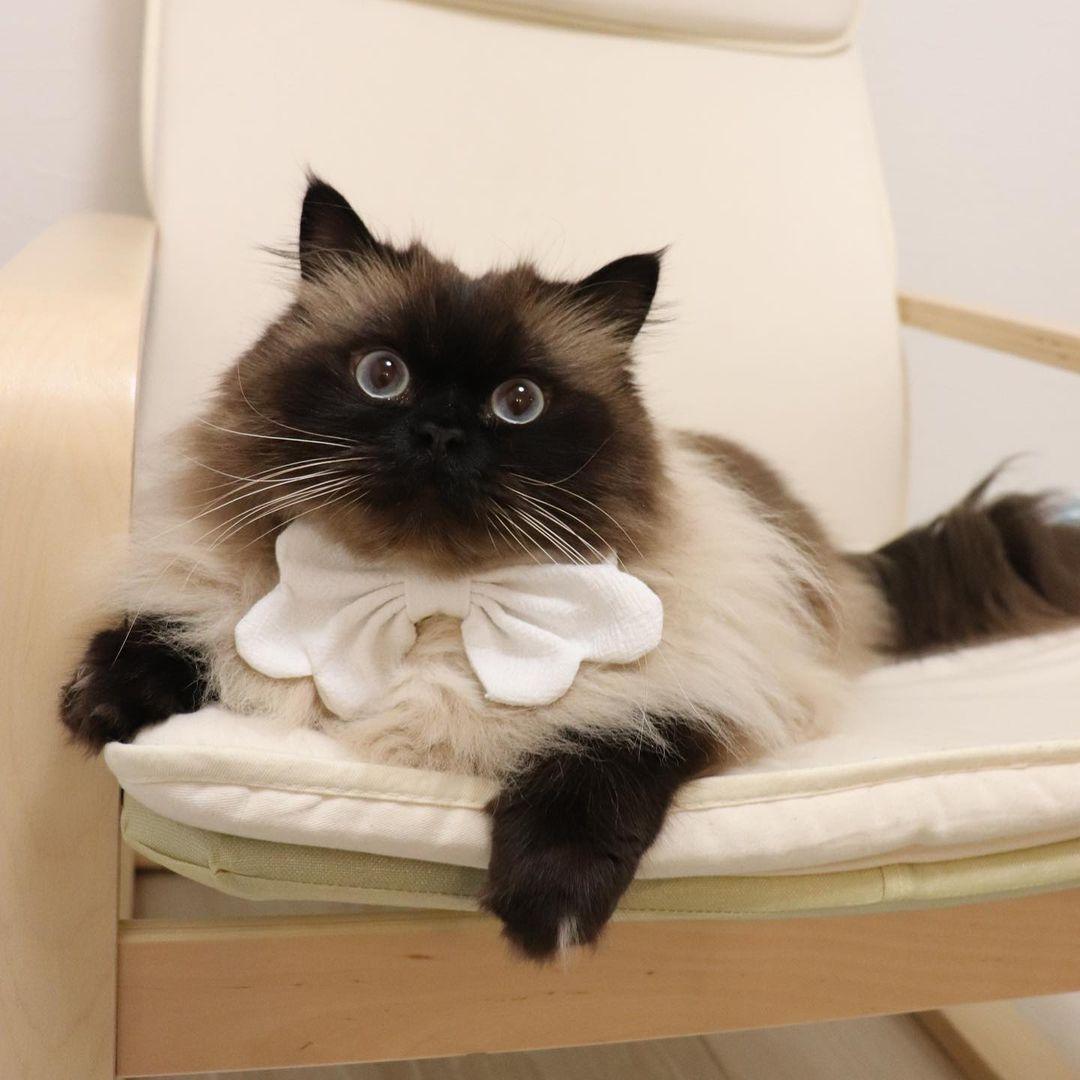 人気の猫ヒマラヤン