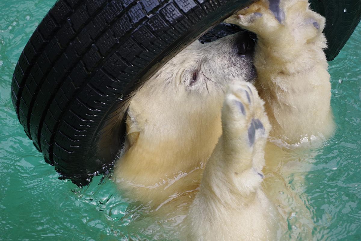 天王寺動物園のホッキョクグマの赤ちゃん