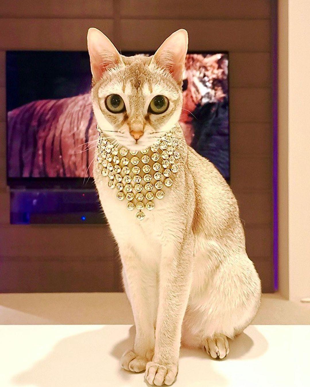 エジプト風のコーディネートをした猫